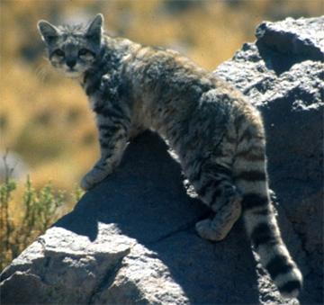 アンデス猫
