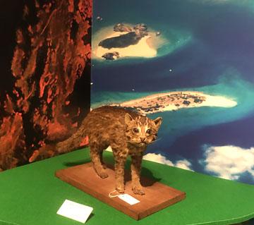 イリオモテ山猫